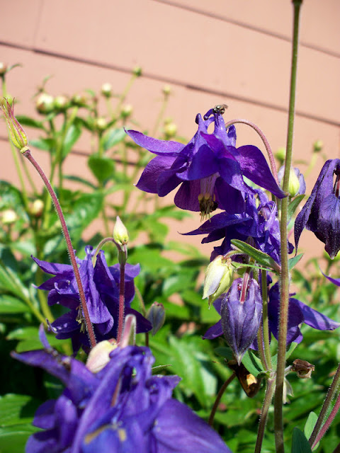 Deep purple columbine