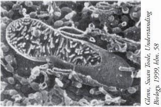 fungsi-sel-mitokondria