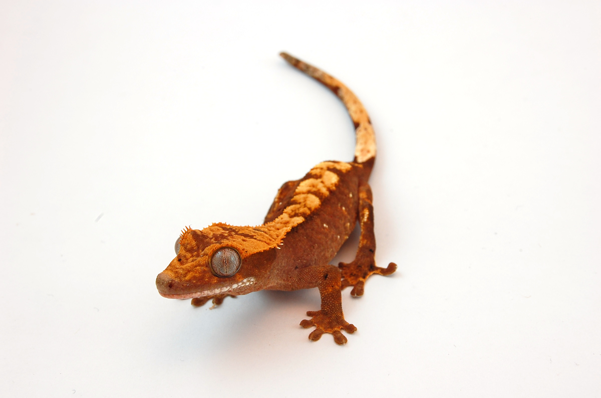 If A Chameleon Sleeps During The Day, It Can Be Taken As A Sure Sign Of It Being Sick This Is A Good Indicator, Especially If One Has These As Pets.