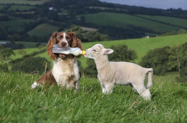 A sheepdog bottle-feeding baby lamb, Jess bottle feeding Shaun
