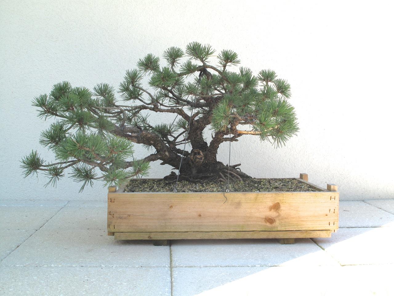 bonsai und beistellpflanzen kleine borkige mugo erstgestaltung. Black Bedroom Furniture Sets. Home Design Ideas