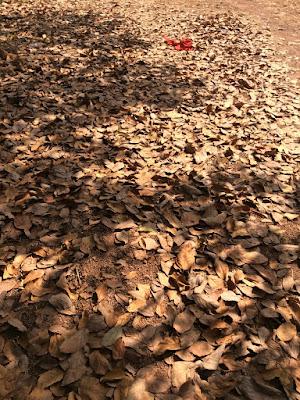 feuilles sèches d'avocatier