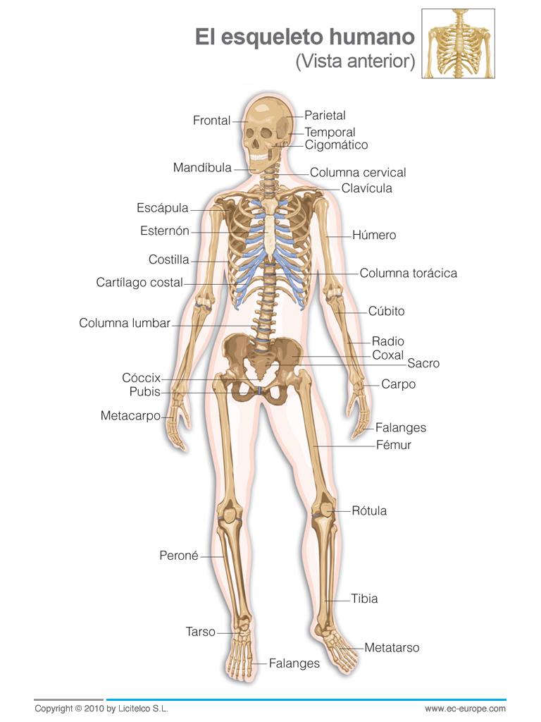 2º ESO - Educación Física: Sistema Óseo - El Esqueleto Humano