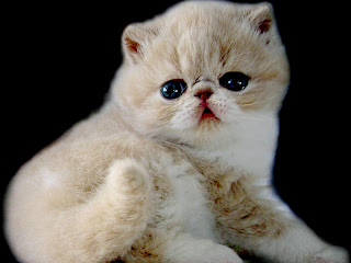 Jenis Kucing Exotic Shorthair