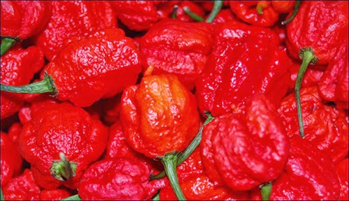 World's Most Hottest Chile Pepper