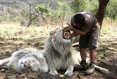 Foto de leones con humano