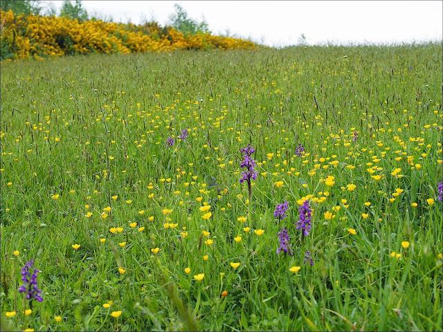 Orchis bouffon landes sèches Saint-Just Bretagne site mégalithique