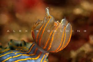 Nudibranquio Diosa del Mar Corona Dorada