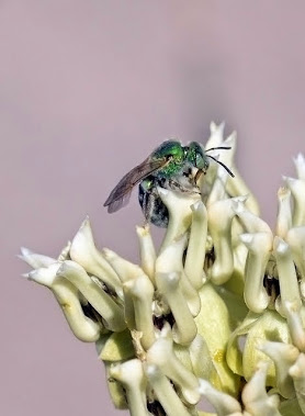 Green Sweet Bee Agapostemon sp. 252
