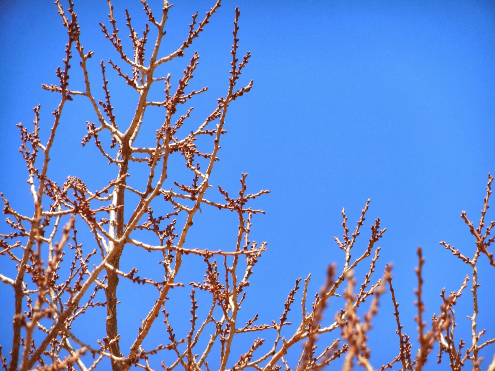apricot tree buds
