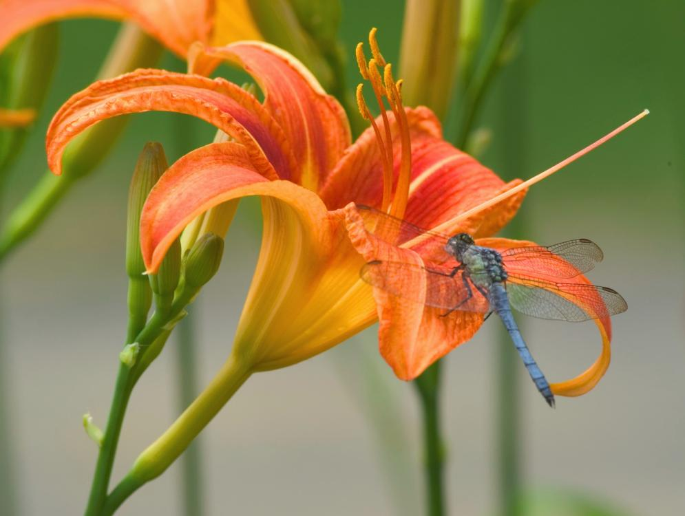 orange lily flower picture tiger lily flower white lily flower lily xp    Yellow Tiger Lily Flower