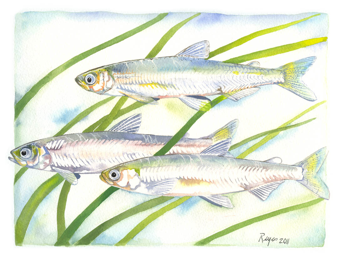delta smelt Delta smelt are hard to find federally listed as threatened in 1993 and as endangered under the california endangered species act in 2009, they are an iconic species for water issues in the state but there's one place where the fish can be found by the thousands the uc davis fish.
