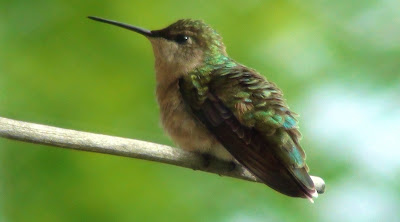 Tiny green, beige and brown hummingbird perched on a twig