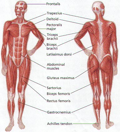 bones and muscles The muscular system is responsible for the movement of the human body attached to the bones of the skeletal system are about 700 named muscles that make up roughly.