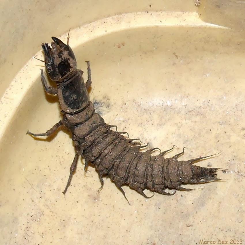 insetologia identificação de insetos lacraia d água no rio de janeiro