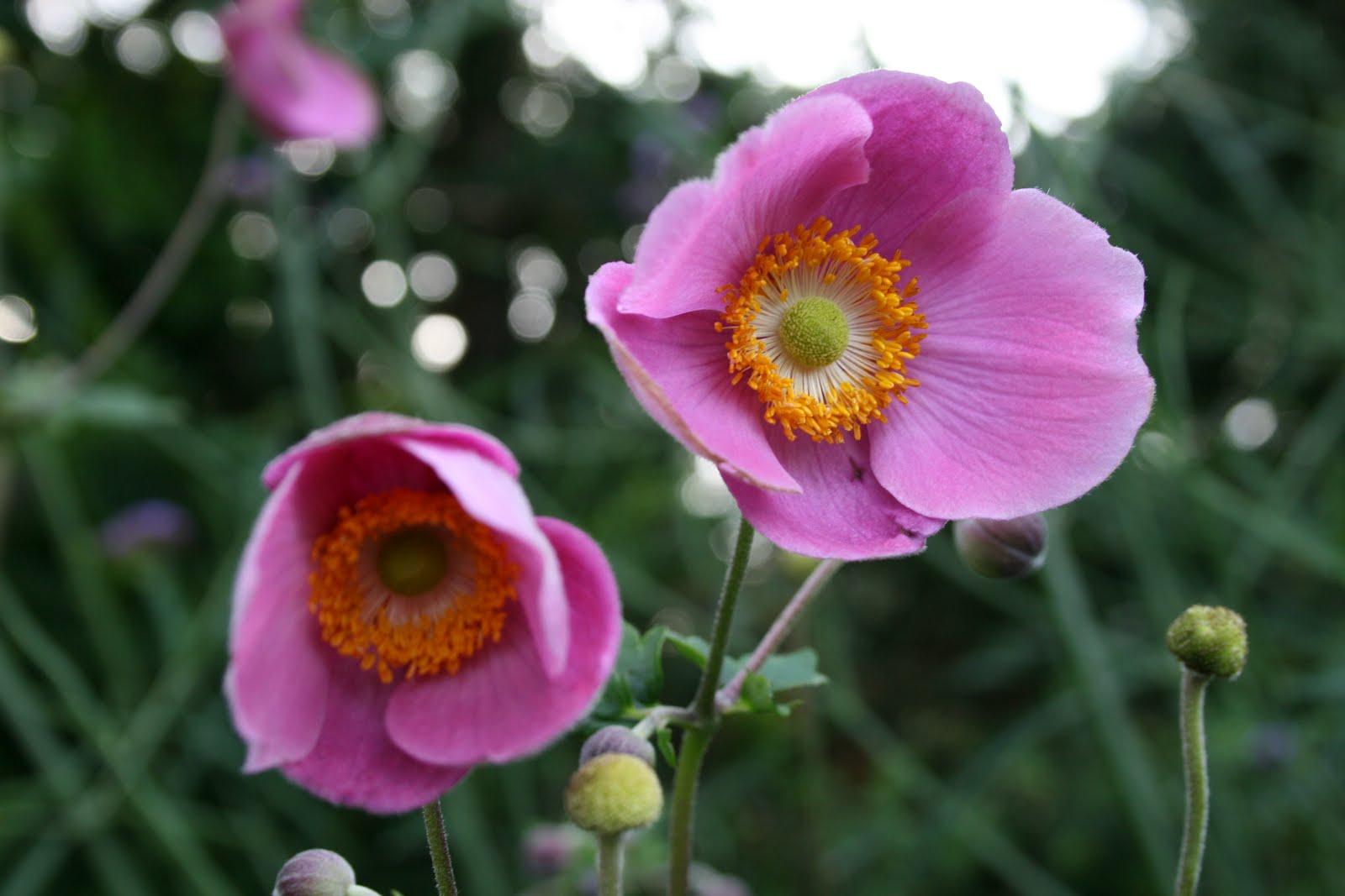 höstanemon anemone hybrida