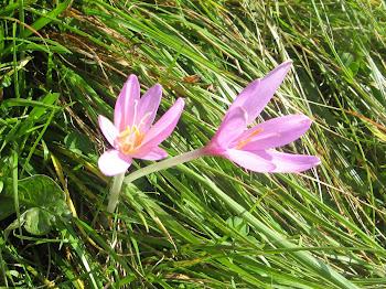 Colchicum autumnalis (Colchico d'autunno)