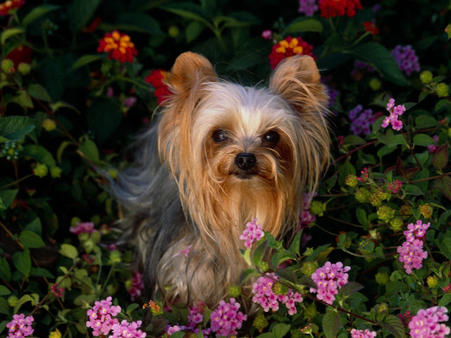 Yorkshire+Terrier2. title=