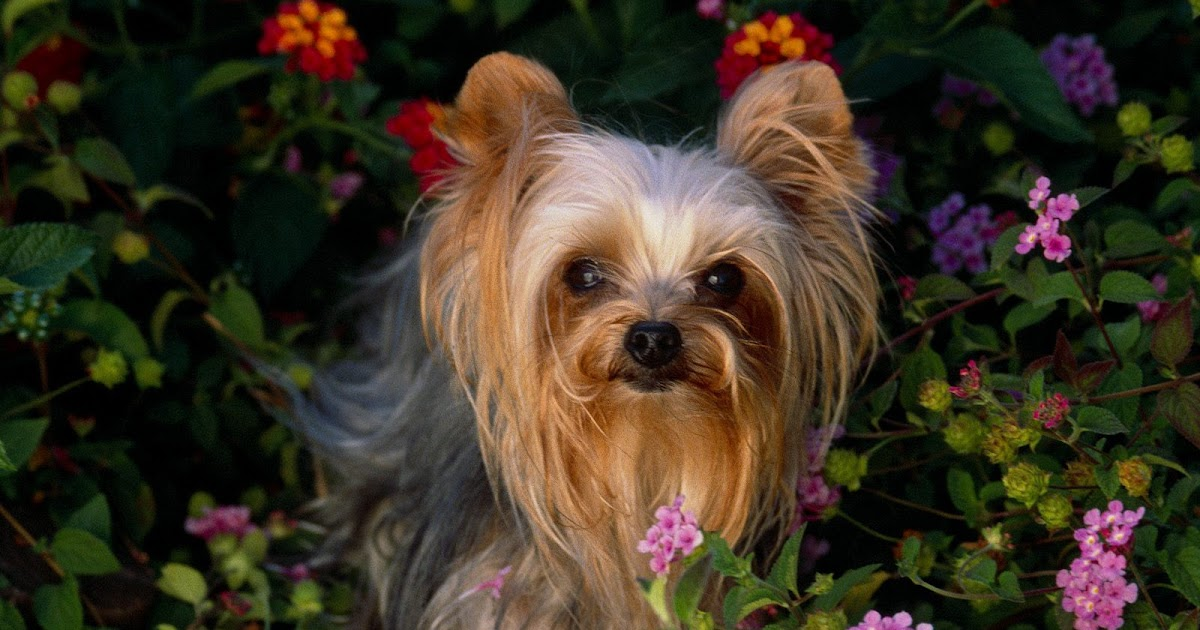 Yorkshire Terrier | Th...