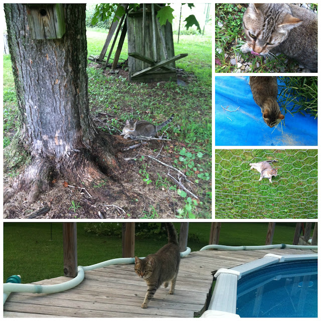 Pictures of a Brown Tabby Jo