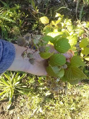 lamponi ,pianta e frutti