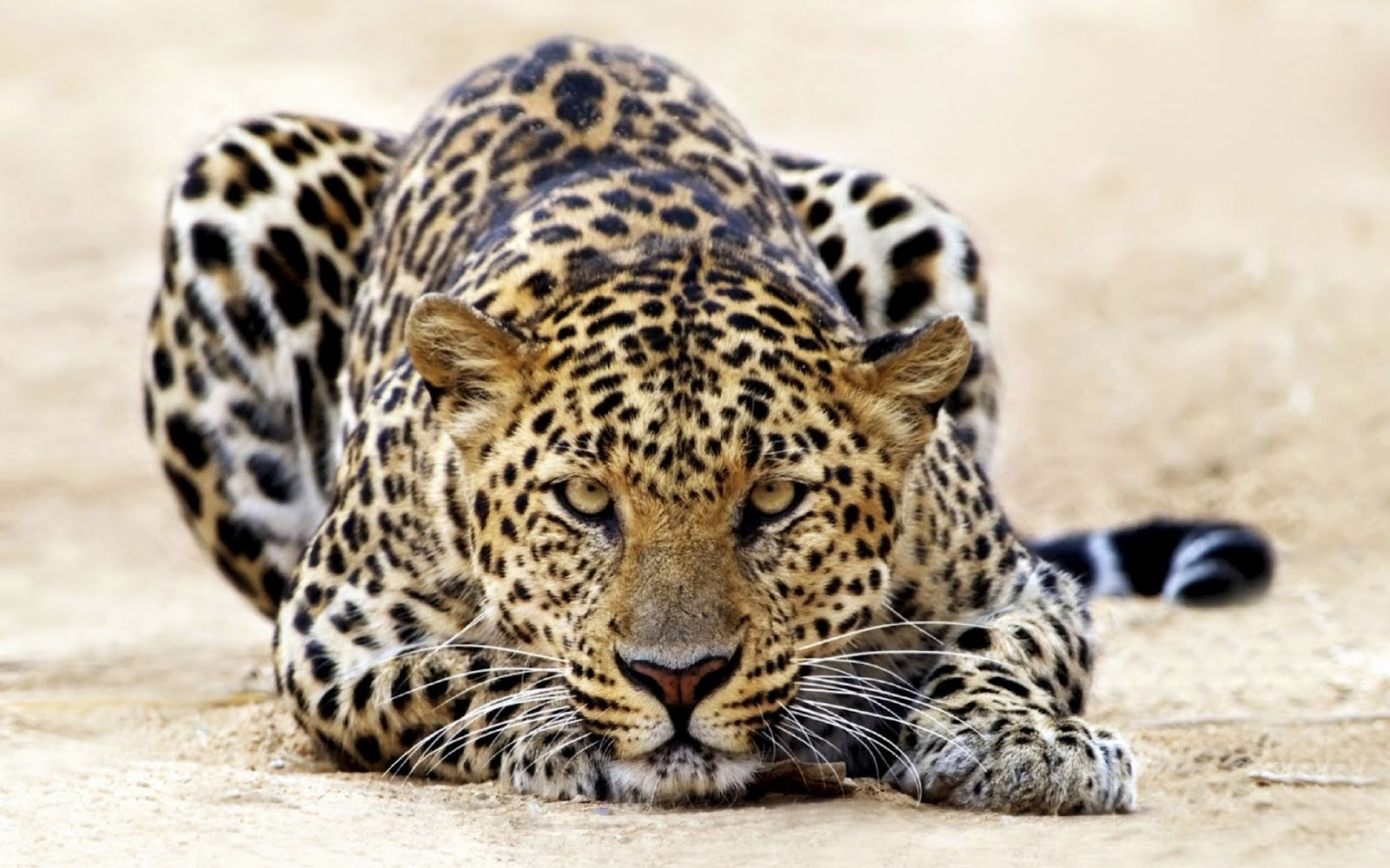 This Uttarakhand woman got the better of leopard that attacked her ...