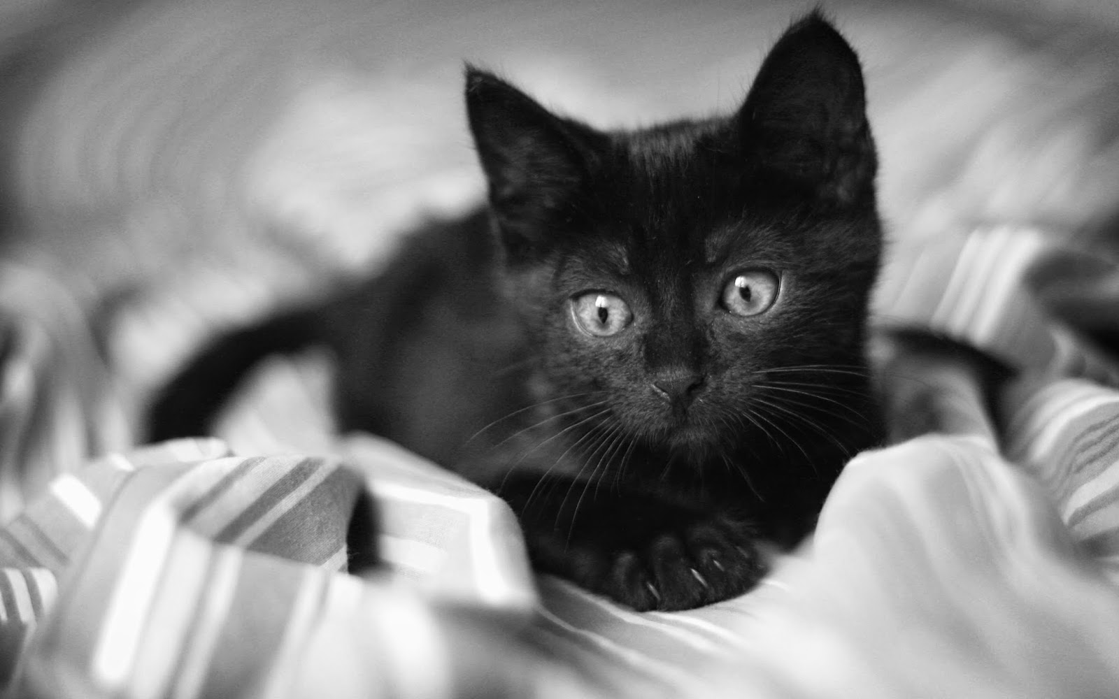 all black cat breeds general information