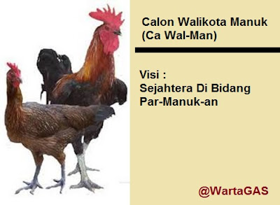 Calon Walikota Manuk (Ca Wal-Man) - Foto: Ayam Kampung