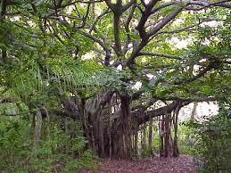 pohon beringin angker