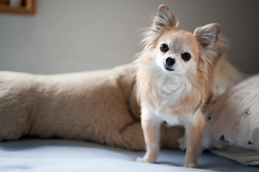 Haircuts For Long Haired Chihuahua | hairstylegalleries.com