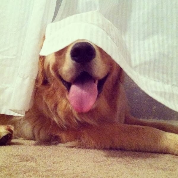Cute dogs - part 4 (50 pics), dog pictures, golden retriever dog hides behind curtain
