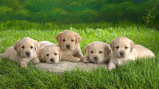 Cute puppies desktop backgrounds free