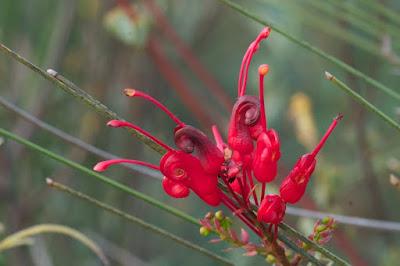 Wilson's Grevillea (Grevillea wilsonii)