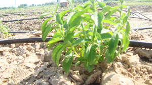 ORGANIC CULTIVATION AT OUR FARM