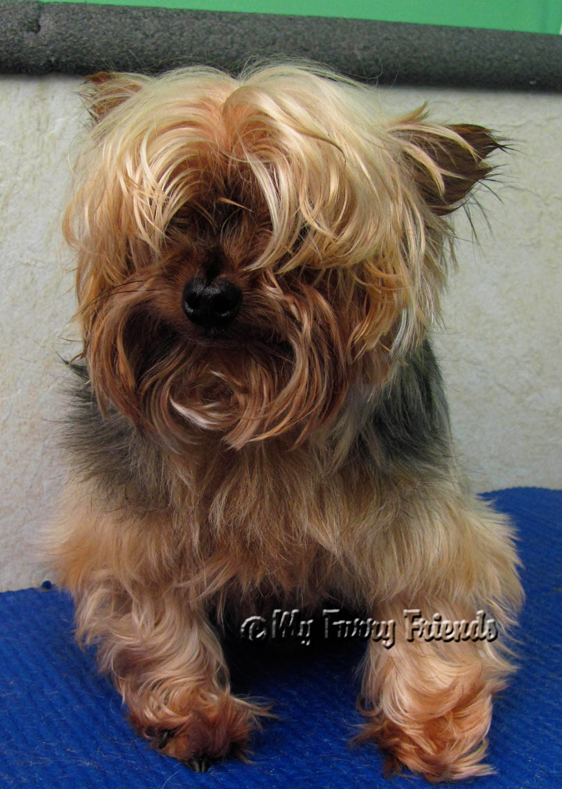 Pet Grooming The Good The Bad The Furry Yorkies
