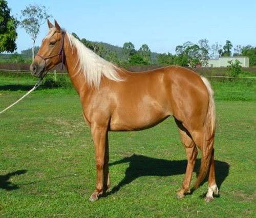 Palomino Horses picture 2