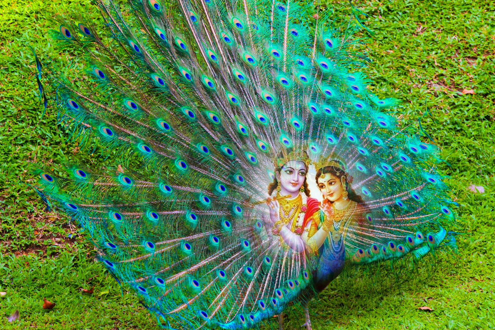 God Krishna with Peacock Feather HD wallpapers for free download