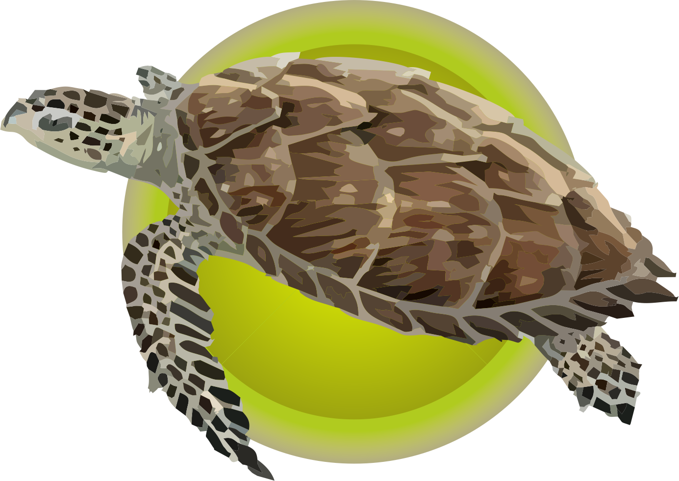 Tortuga Carey (Eretmochelys Imbricata)