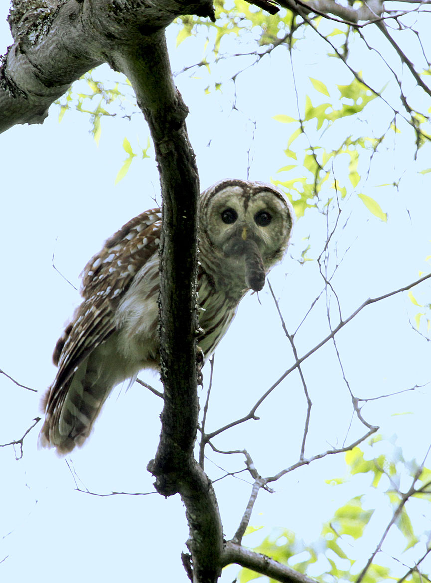 b i r d backyard barred owl