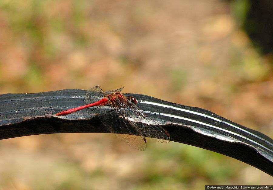 Стрекоза | Odonata
