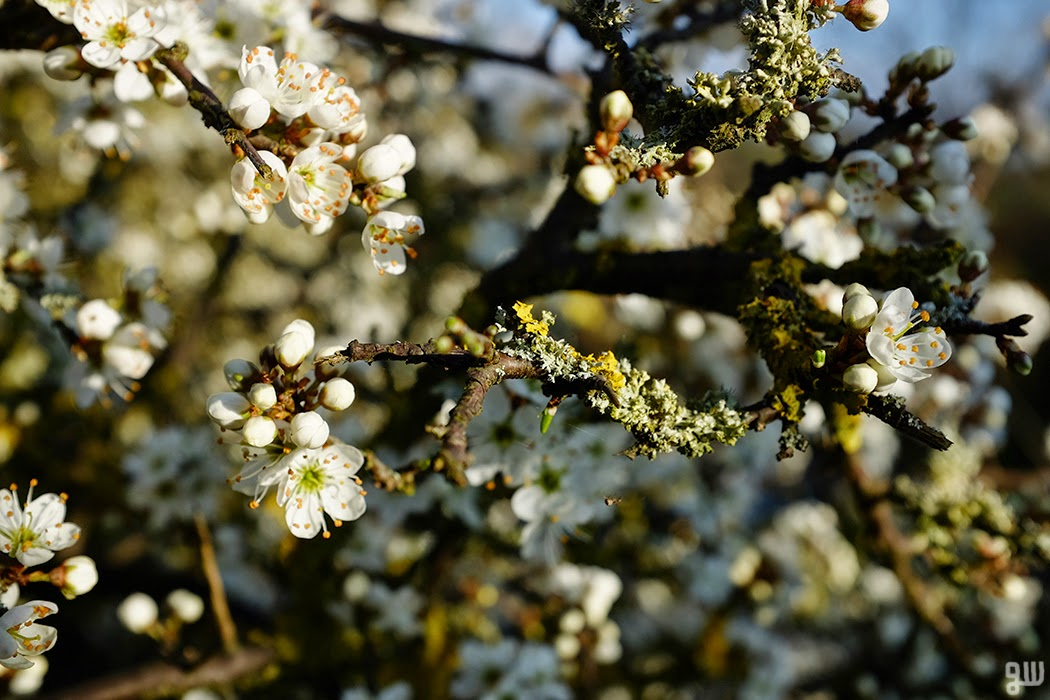 Sloe Blossom 02  - © 2015 Graeme Walker - Garden Photography, Plants, Geology, Creatures