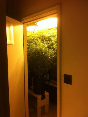 Cannabis Anbau - Cannabis Sorte