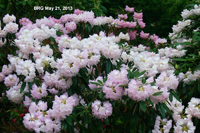 Small rhododendron shrub covered in pale pink blooms.