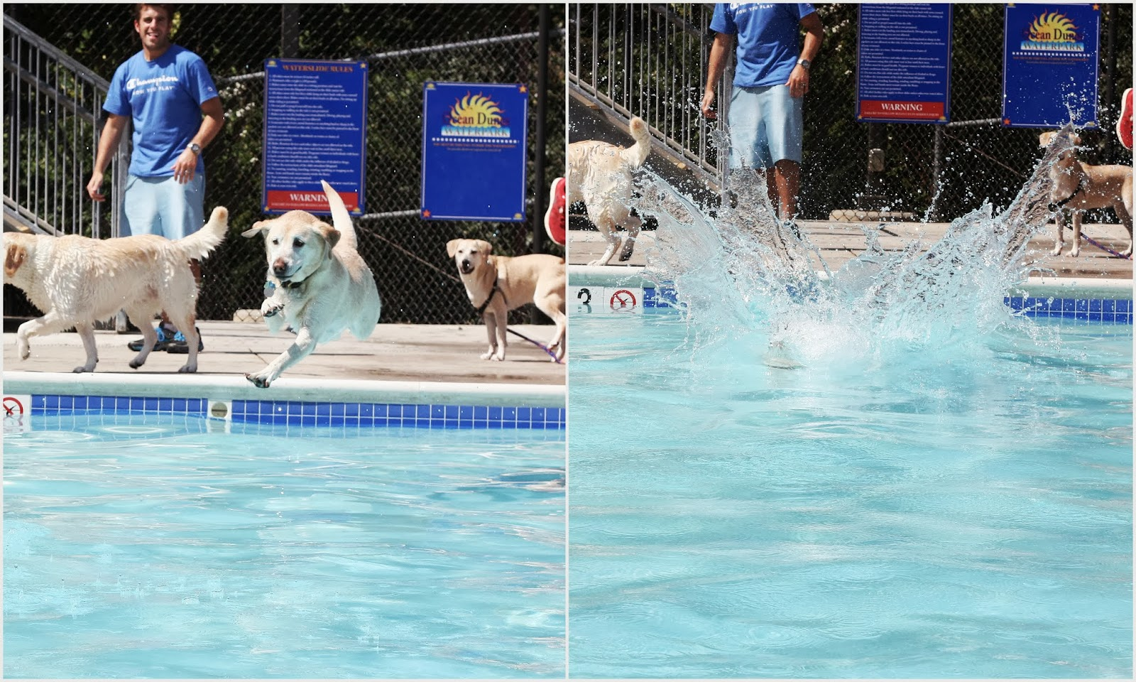 yellow lab swimming