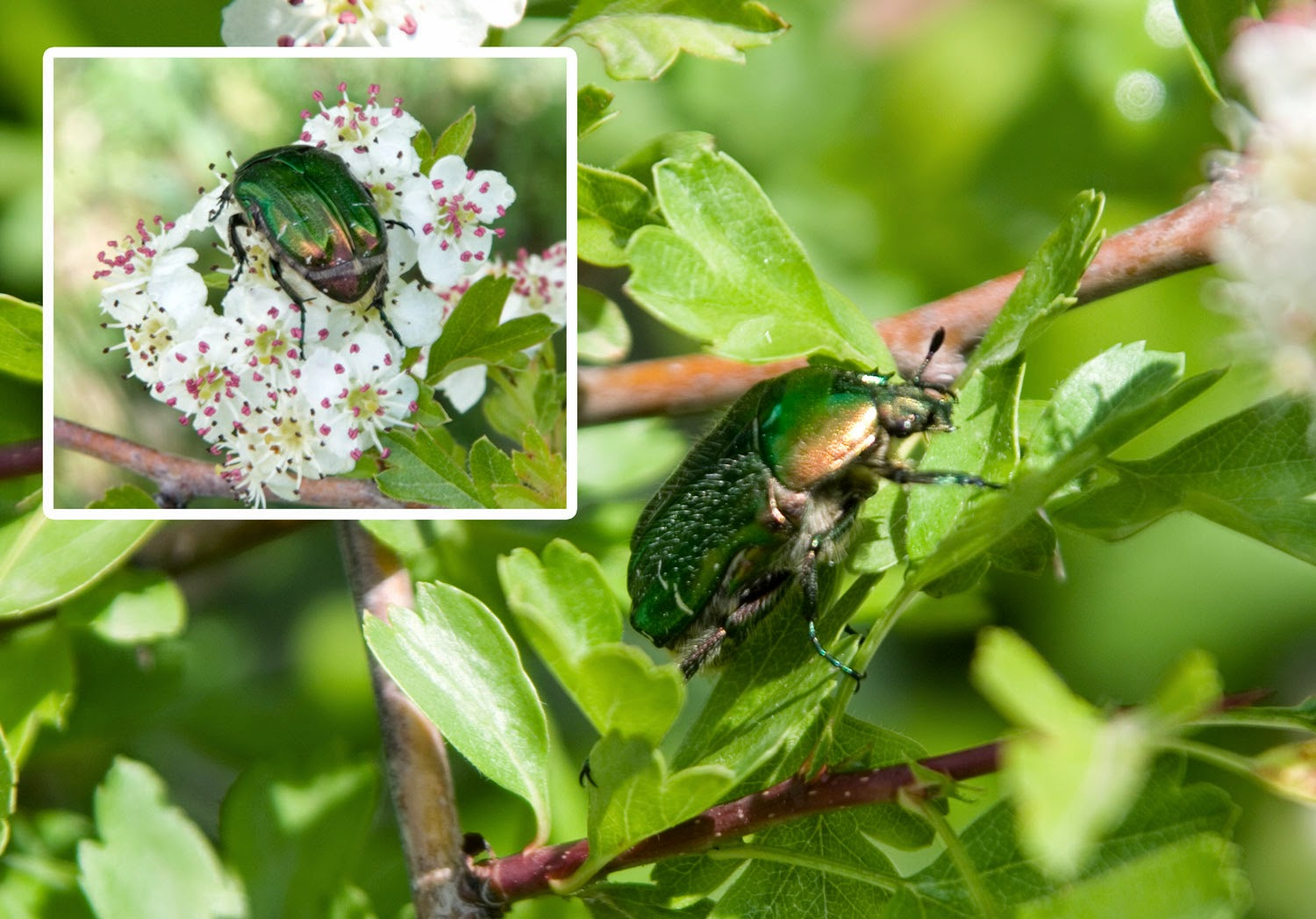 Two beautiful beetles in the blossom