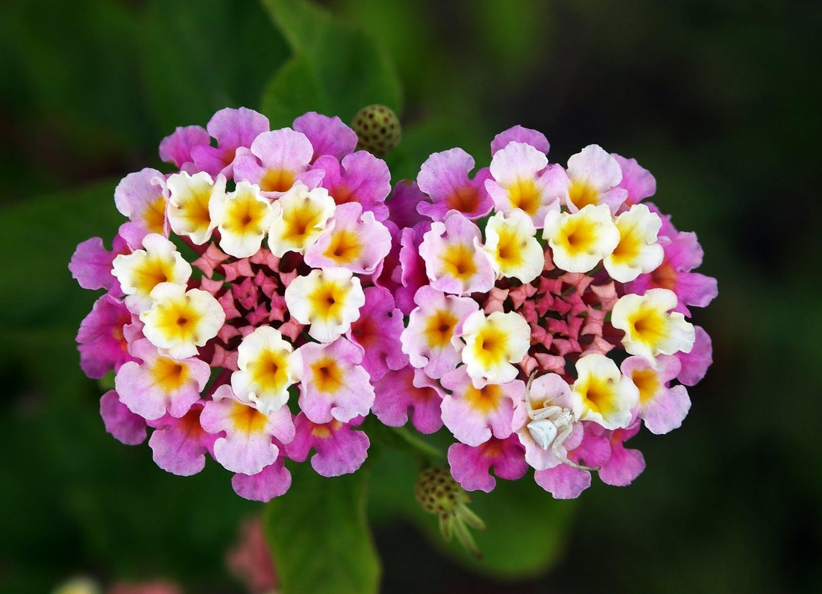 Flowers of Bangladesh Lantana