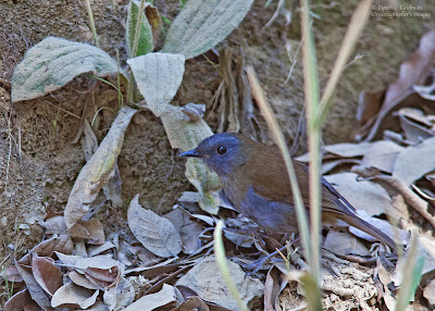 black-billed nightingale thrush
