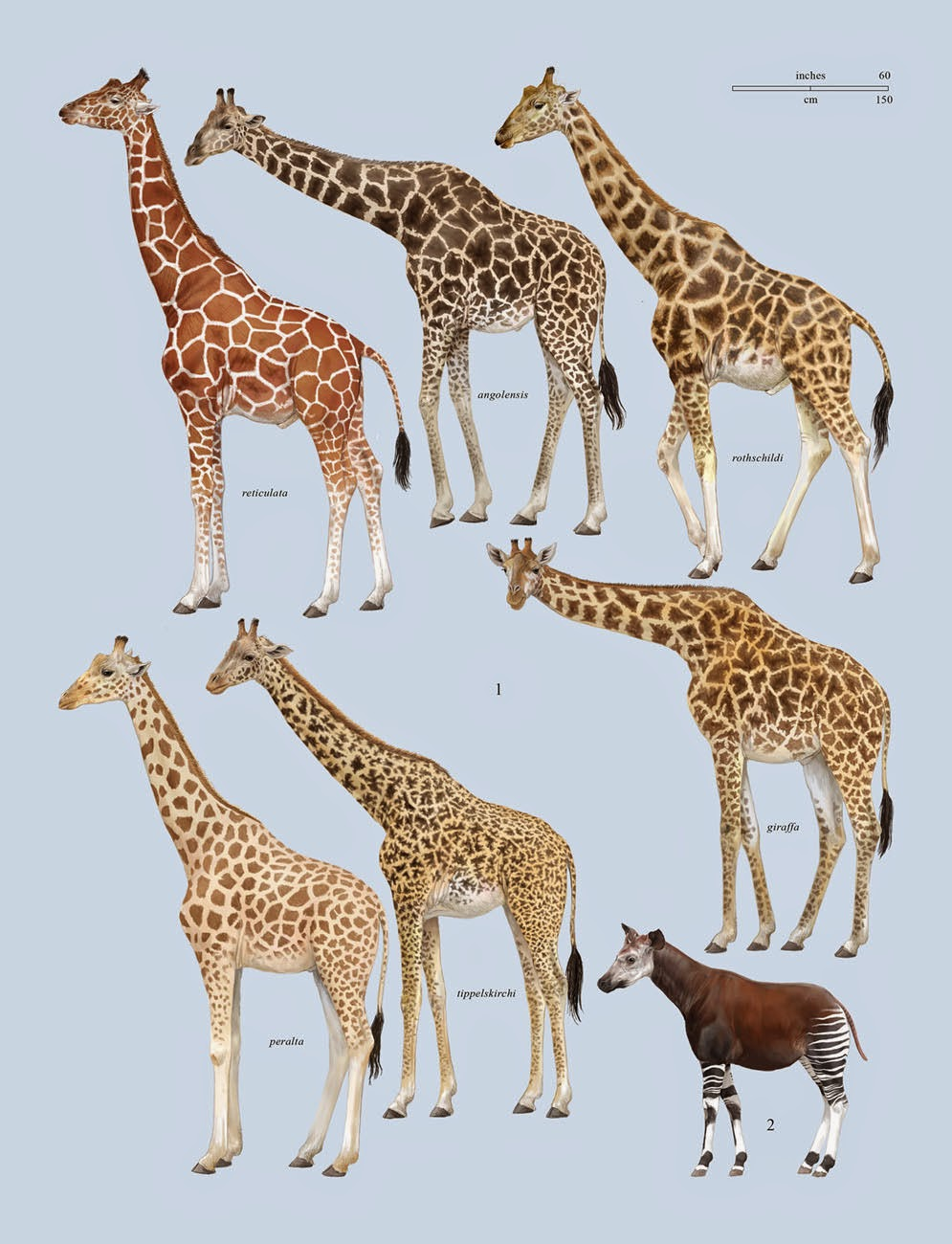 Zsiráffélék
