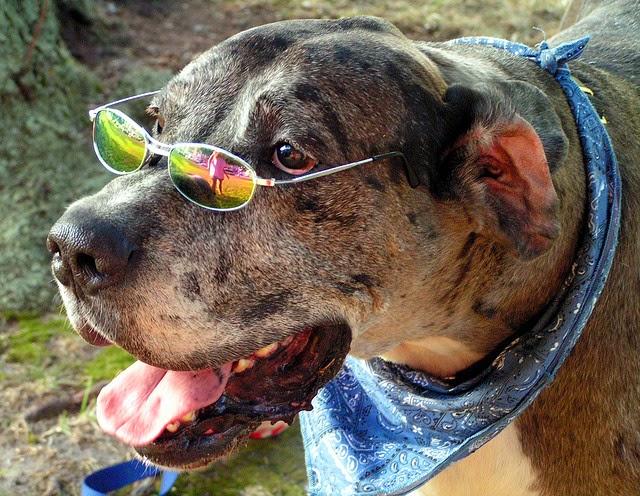 Hippy Dog Wearing Rainbow Sunglasses