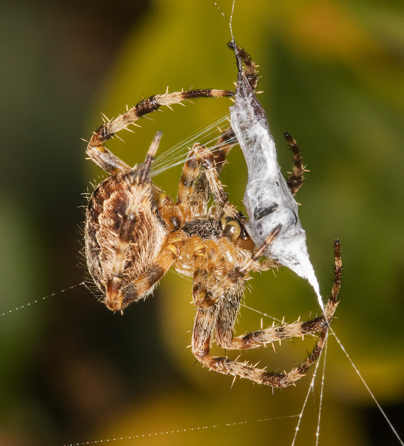 Garden Spider, Araneus diadematus.  West Wickham Common, 1 October 2015